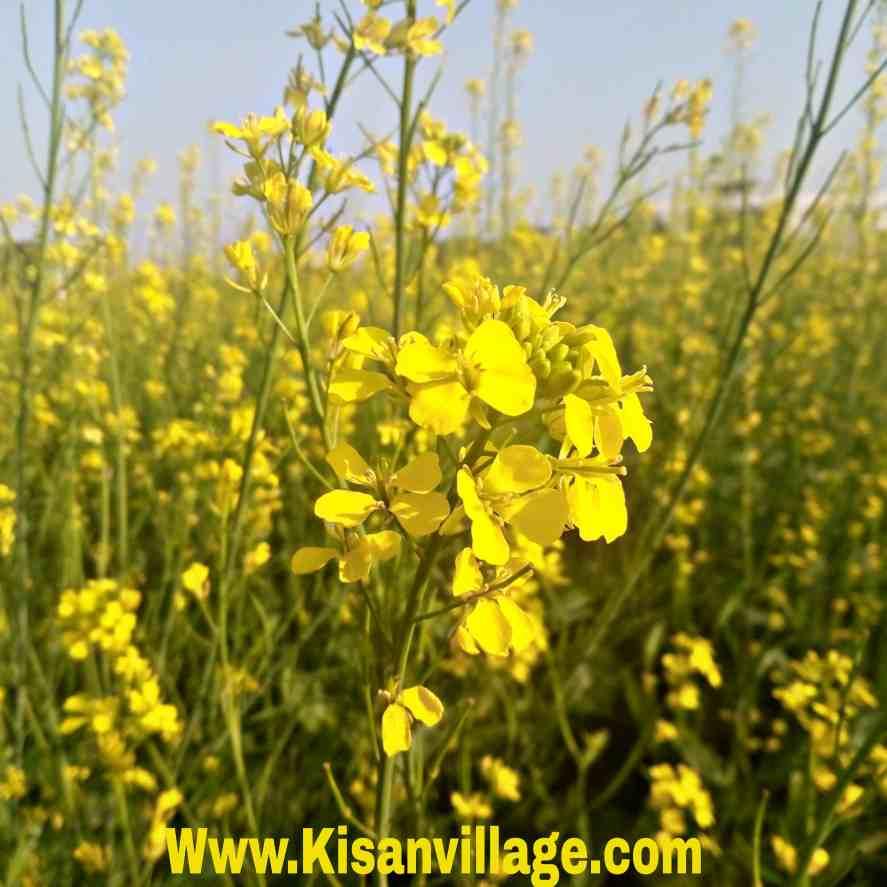 सरसो की खेती की पूरी जानकारी ऐसे रोगो से बचाये अधिक उत्पादन पाये- पीला सोना