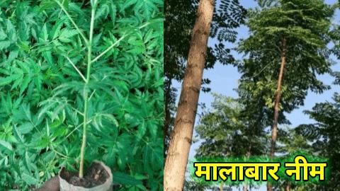 malabar neem tree farming