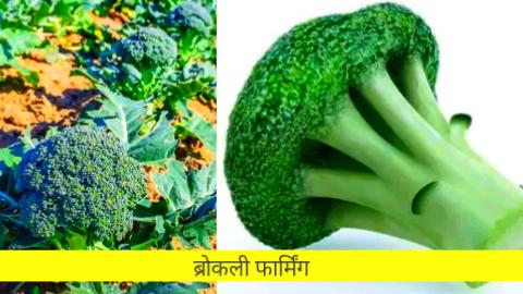 broccoli in hindi