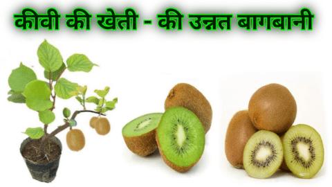 kiwi fruit in india