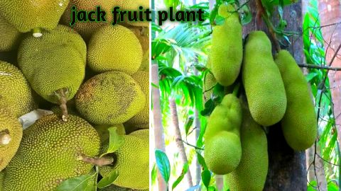 jackfruit farming - कटहल की खेती कैसे करे - होगी लाखो में कमाई