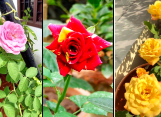 how to grow rose plant in hindi