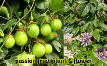 passion fruit in hindi
