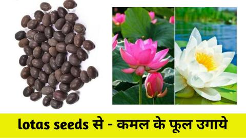 how to grow lotus seeds