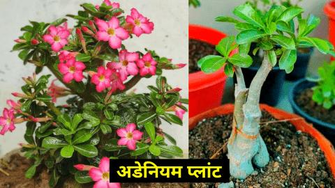adenium plant fertilizer care