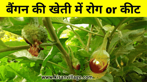 brinjal diseases and control