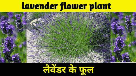 lavender flower plant in hindi