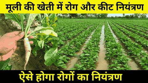 radish farming desise and pests
