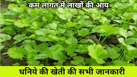 धनिये की खेती केसे करे और कमाये मोटा मुनाफा | dhaniya ki kheti | Coriander Farming